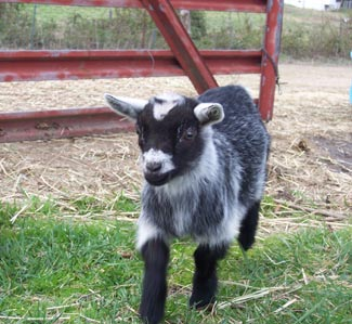 Memphis, the baby pigmy goat.