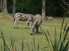 Zebras at the Zoo