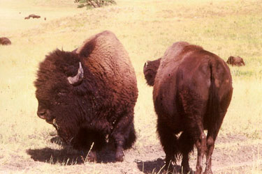 Triangle Ranch Bed & Breakfast, Plains Bison