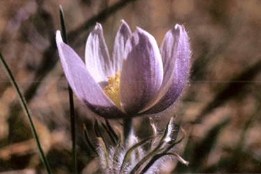 Triangle Ranch Bed & Breakfast, South Dakota Pasque Flower ~ Our State Flower