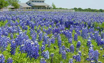 Magnolia House Bed & Breakfast-Texas Bluebonnets