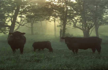 Registered Black Angus