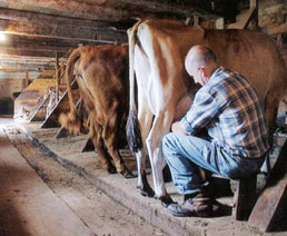 Morrill Farm Bed & Breakfast-Milking the Cow