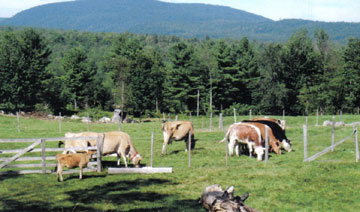 Morrill Farm Bed & Breakfast-Cows
