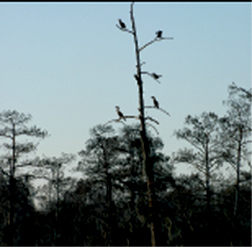 Ibis on a Cypress Tree