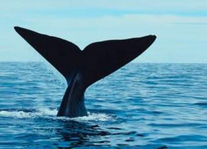 The Inn at Cape Cod, blue whale