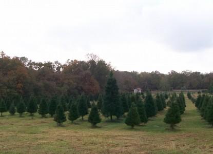 Kelumac Christmas Tree Farm Bed and Breakfast trees