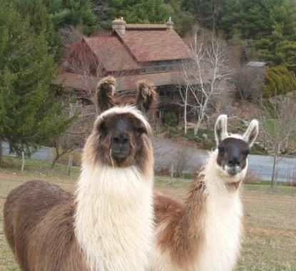 Applewood Inn & Llama Trekking llamas