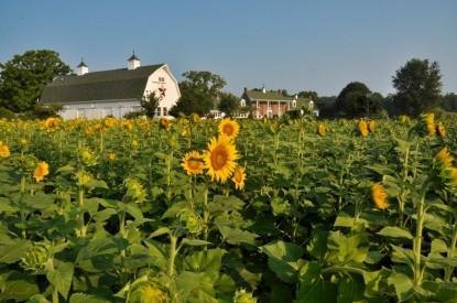 Inn at Huntingfield Creek sunflowers
