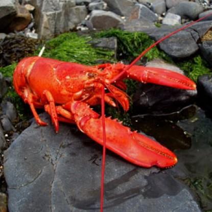 The Maples Inn, lobster