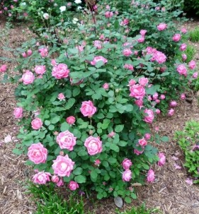 The Irish Rose Bed & Breakfast-Roses