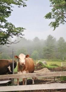 Morrill Farm Bed & Breakfast-Cow