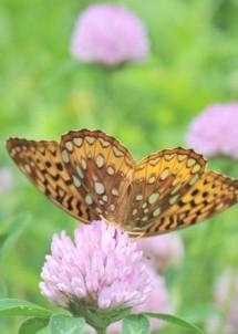 Morrill Farm Bed & Breakfast-Butterfly