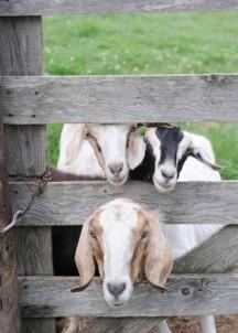 Morrill Farm Bed & Breakfast-Goats