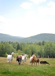 Morrill Farm Bed & Breakfast-Herd of goats