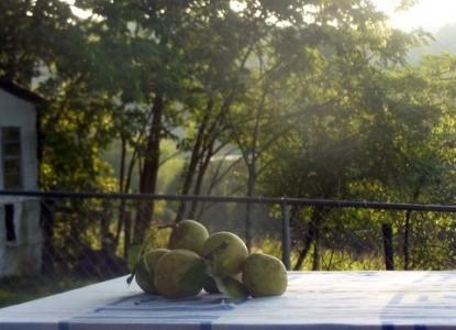 Walnut Hill House B&B Retreat pears