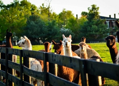 Maple Hill Manor B&B, Alpaca & Llama Farm, and Fiber Farm Store, alpacas
