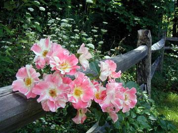 The Morning Glory Inn flowers