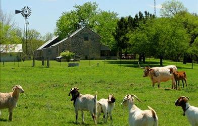 Palo Alto Creek Farm, Goats & Long Horn Cattle
