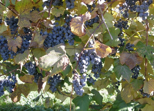 Concord Grapes ready for harvest!