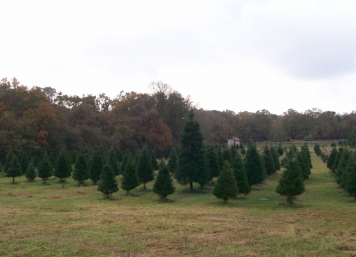 Overview of Christmas Trees in the  Field