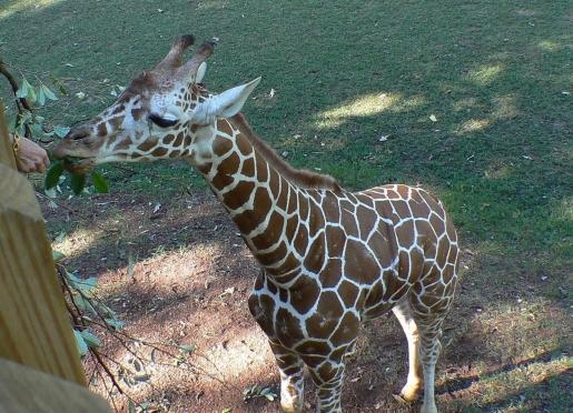 Innkeeper, Barbara, feeding the giraffe