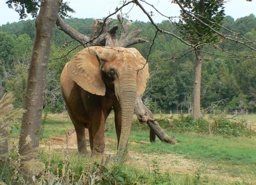 Elephant from the North Carolina Zoo