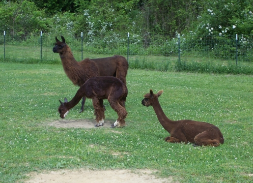 Foster home for rescued llamas and alpacas