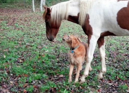 Recent Golden Retriever adoption loves Atlas