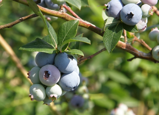 Blueberry's ready for picking at Erdle Farm Siver Creek, NY