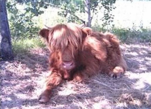 Nessie at 6 months. One of our 3 Scottish Highland cows.