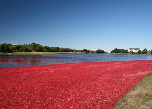 Cranberry bog in harvest