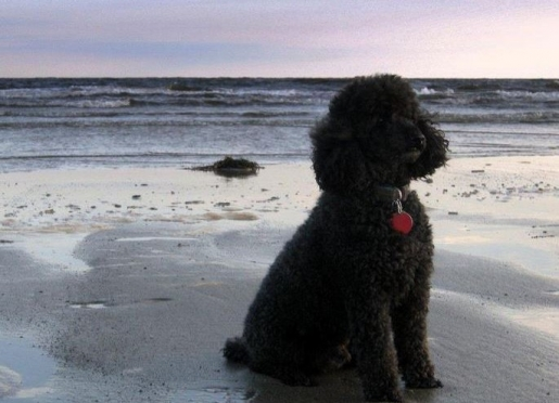 Waldo, the Inn's Miniature poodle, loves to play ball with guests
